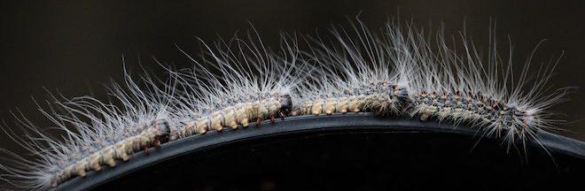 oak processionary moth caterpillars