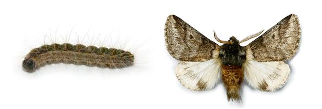 oak processionary caterpillar and moth